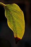 Bloody Leaf !