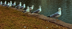 Common gulls Lineup for something!