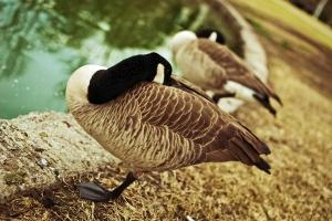 Canada goose sleeping!